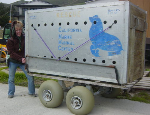 Wheeleez wheels being used to rescue seals at The Marine Mannal Center.